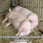 Свиньи обнимаются