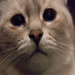 Создать Плачущий кот - мем Мем